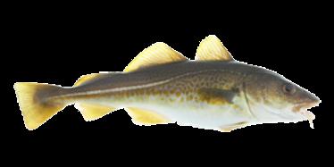 Our Atlantic Cod